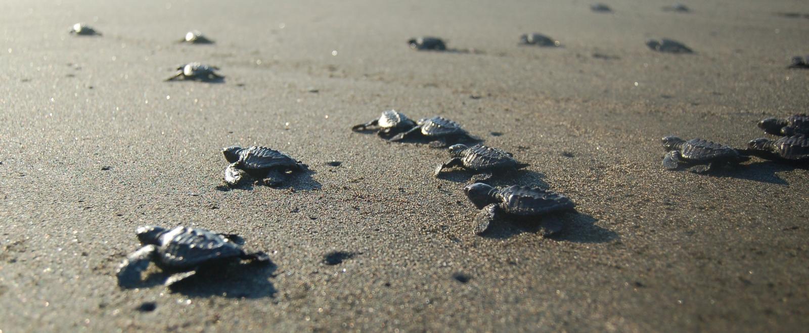 pasgeboren schildpadden zoeken hun weg naar de oceaan na vrijlating op het zwarte strand door een groep vrijwilligers natuurbehoud in Mexico.